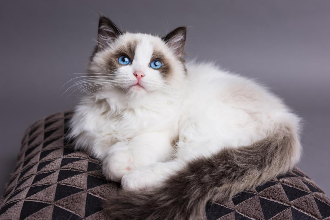 Ragdoll Cats Your Beautiful Good Natured And Loving Friend