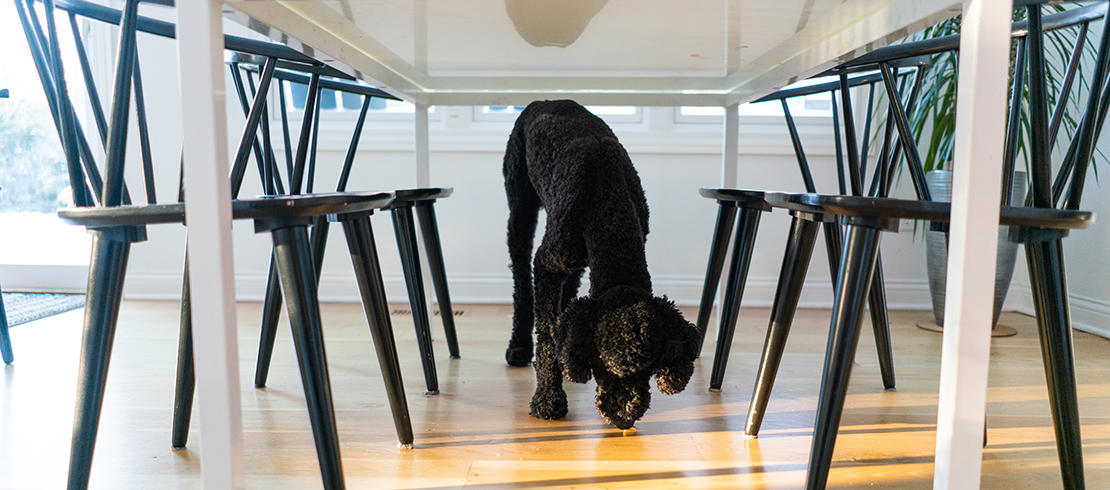 A black dog sniffing for human food under the table
