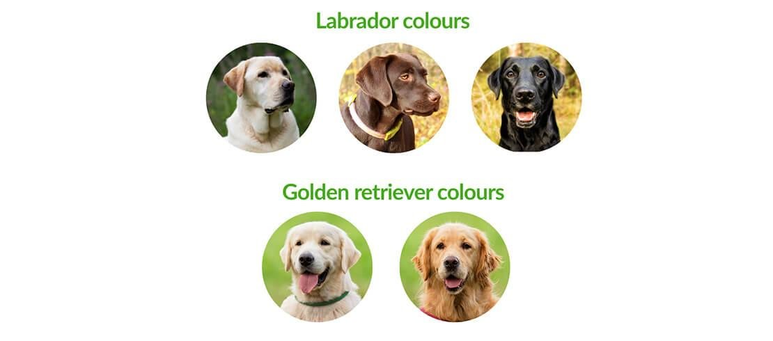 Labradors come in three colours while Golden Retrievers come in two colours