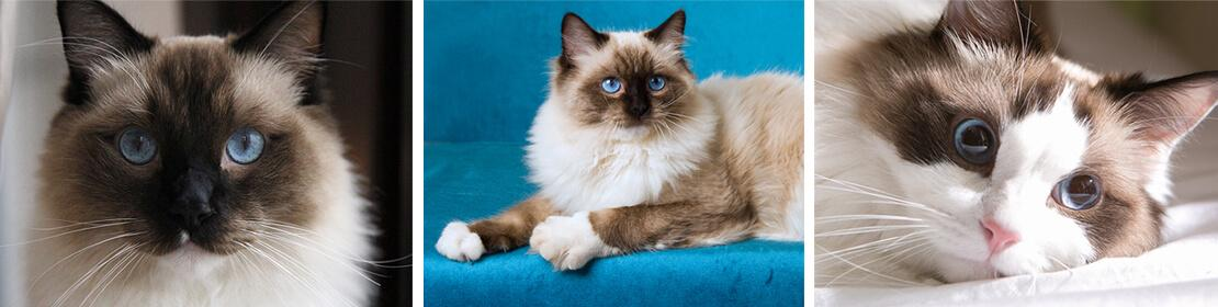 The colours of ragdoll cats include seal (dark brown), blue (bluish grey), chocolate, lilac, red, and cream