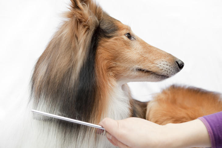 A dog groomer combing a sheltie