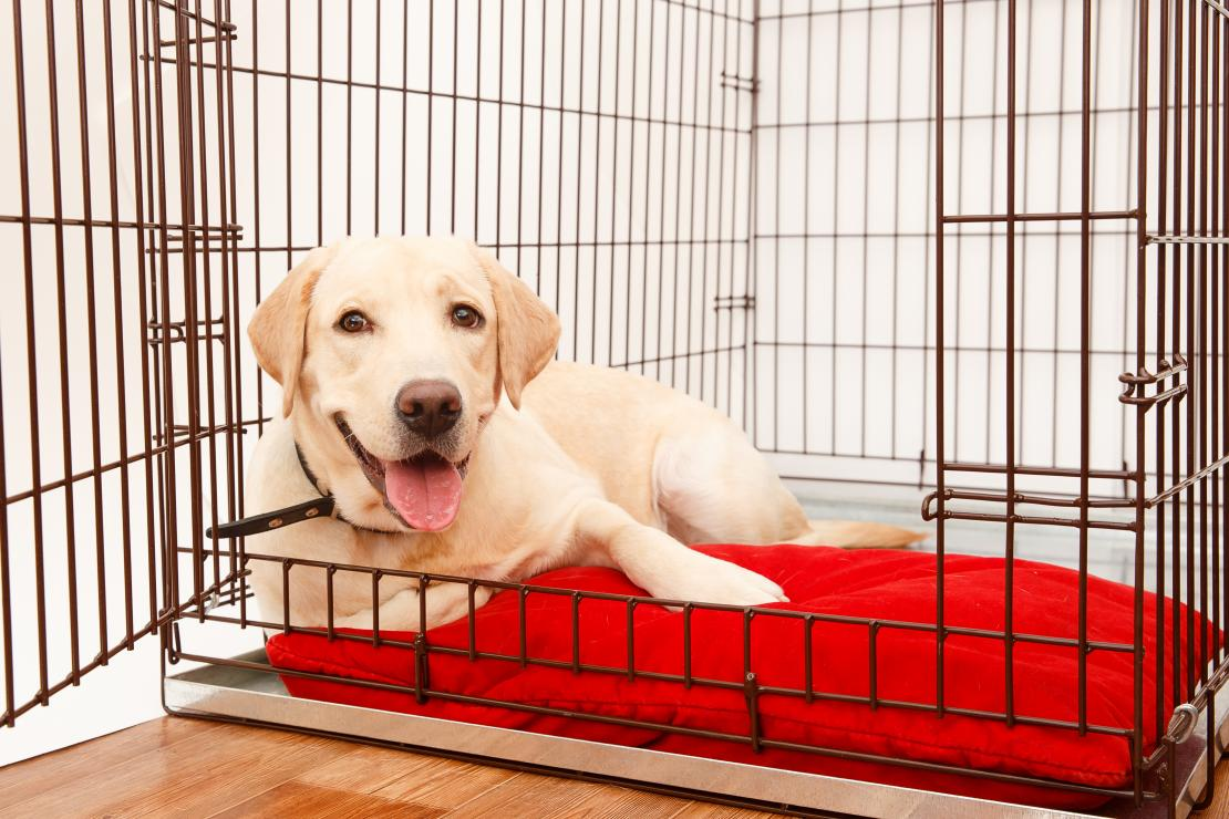 A yellow lab relaxing in a dog crate