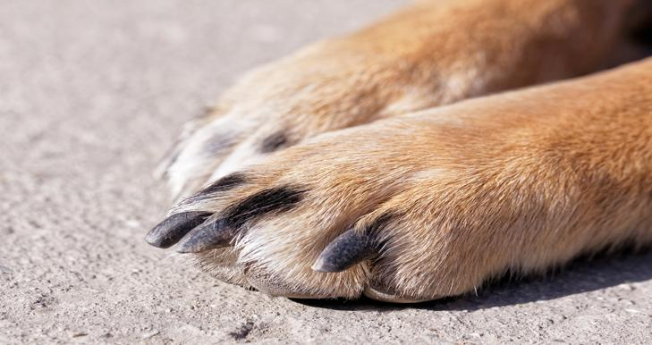 A close up of a dog's nails