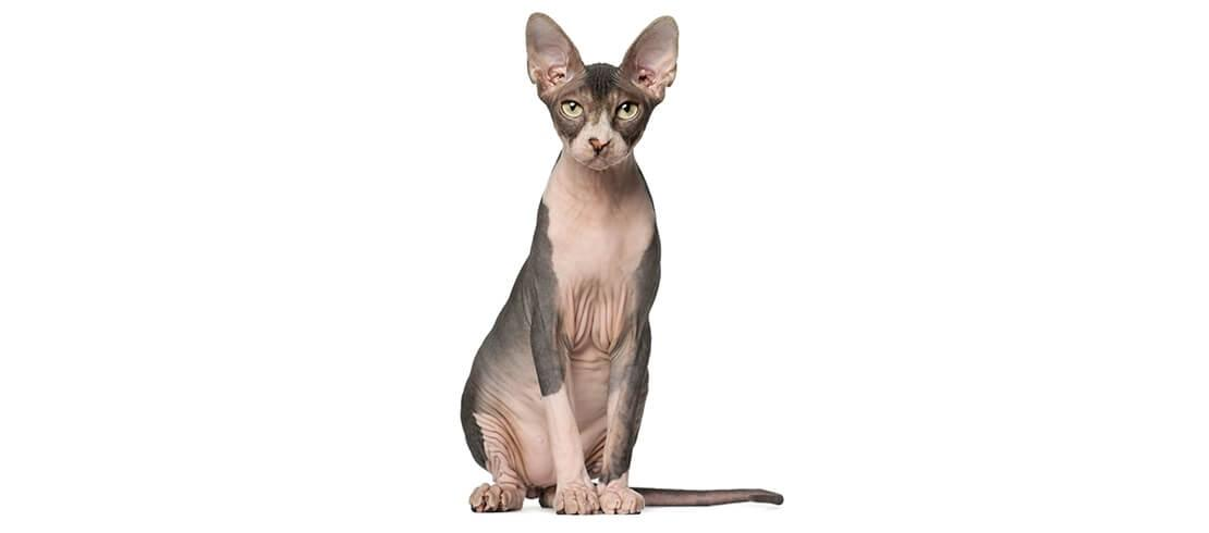 Almost hair-free, Sphynx cats are hypoallergenic, but require regular bathing