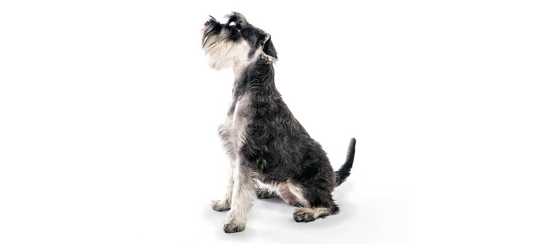 Miniature Schnauzers are great for allergy sufferers who have families