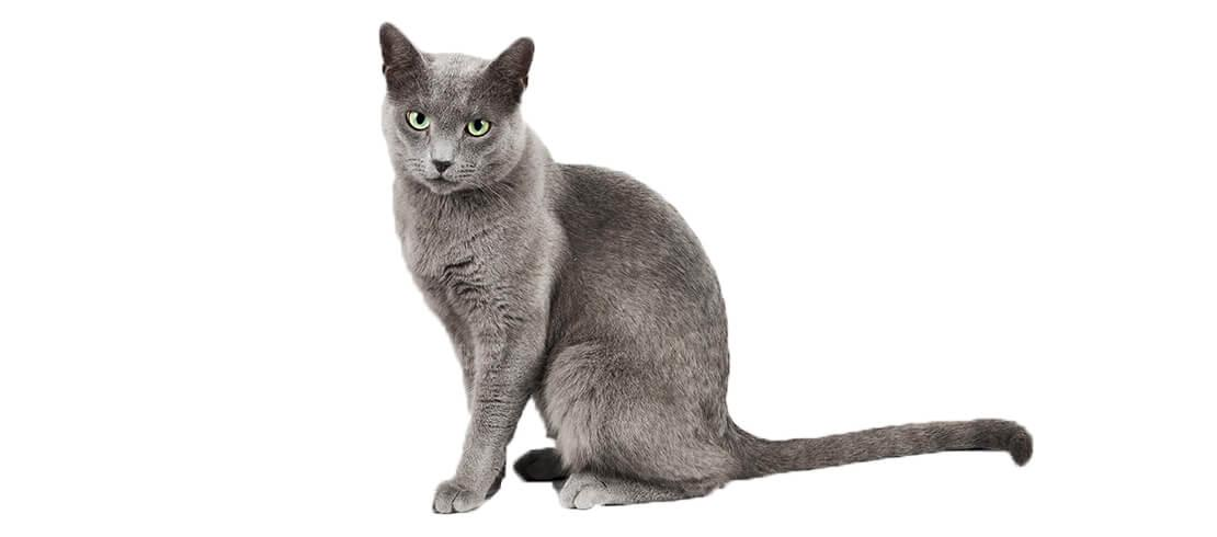 Although Russian Blue cats may be shy, they are affectionate and hypoallergenic