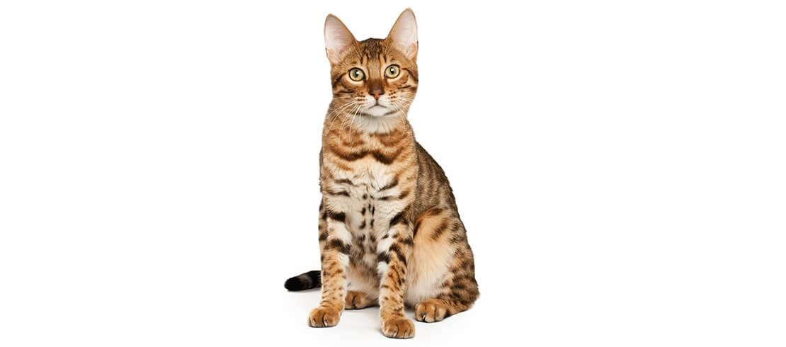 Bengal cats are large, athletic, hypoallergenic cats that can weigh up to 7 kilos