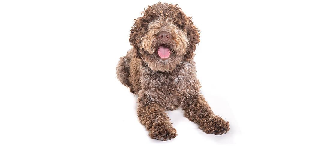 Brown Lagotto Romagnolos are allergy friendly, but need frequent exercise
