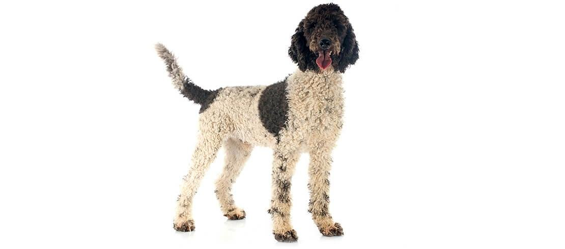 Portuguese Water Dogs are loyal, affectionate and intelligent companions that don't shed