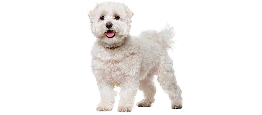 The Bichon Frise doesn't shed and stays at a manageable 3 to 5 kilos