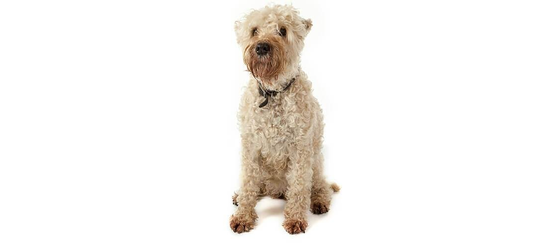 Soft-coated Wheaten Terriers are affectionate and perfect for families with allergies
