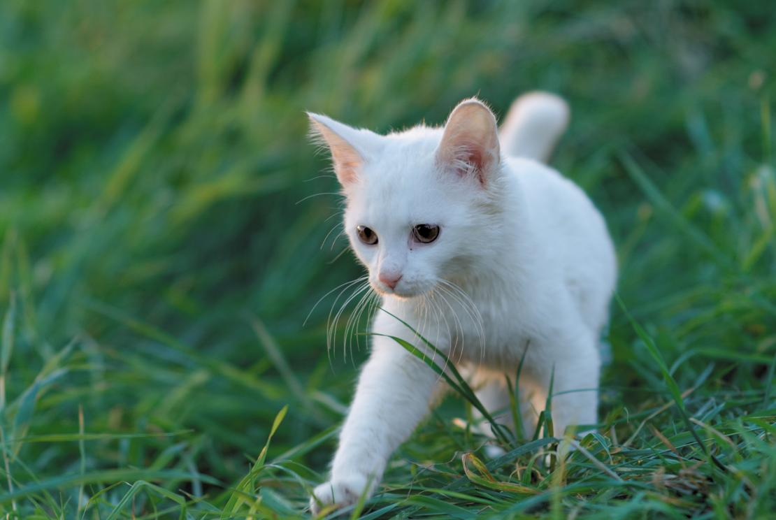 A young kitten roaming through the grass