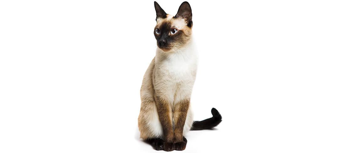 Siamese cats are loving and intelligent, great for allergy sufferers