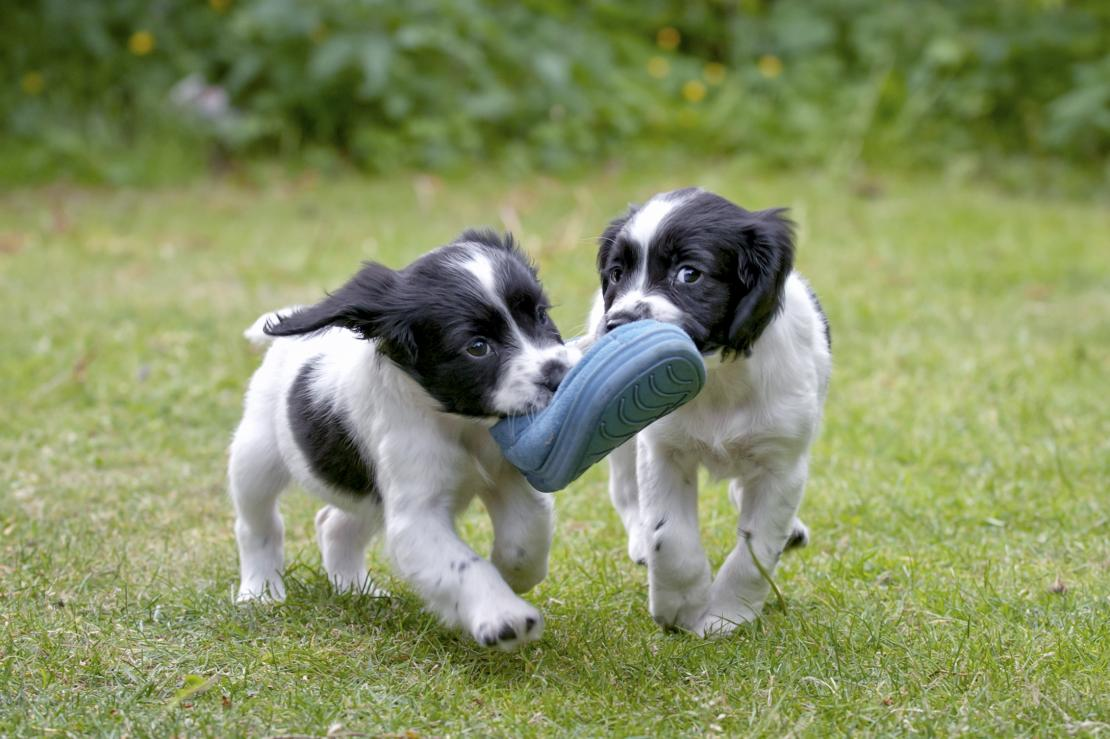 Two puppies playing with a shoe