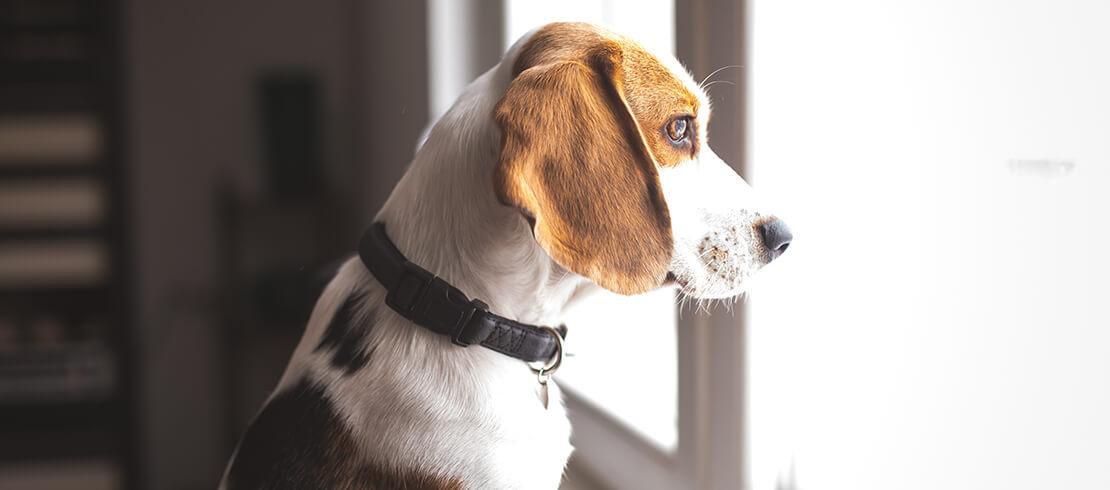 Dog looking outside from window