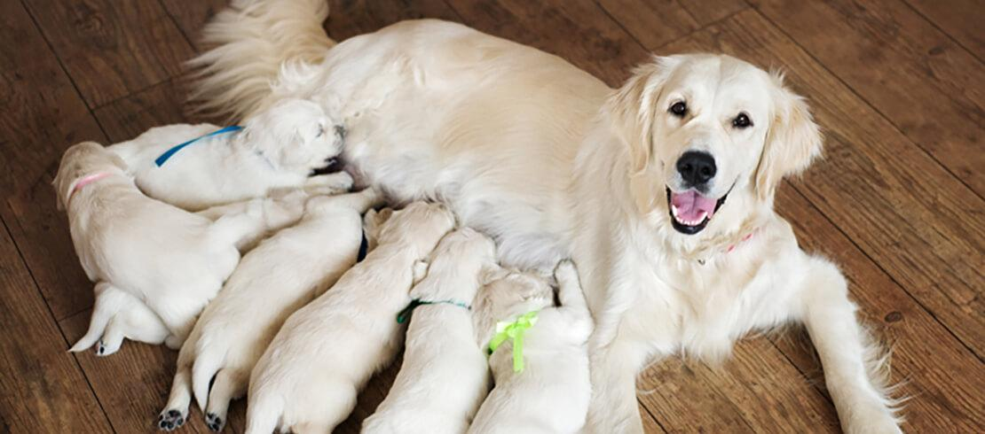 6 golden retriever puppies being fed by their mother
