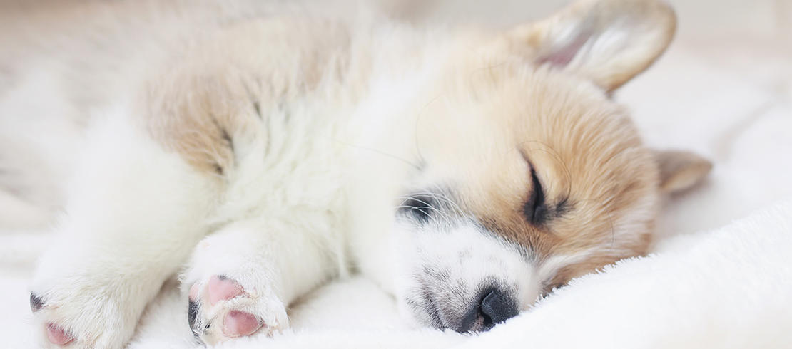 sleeping corgi puppy