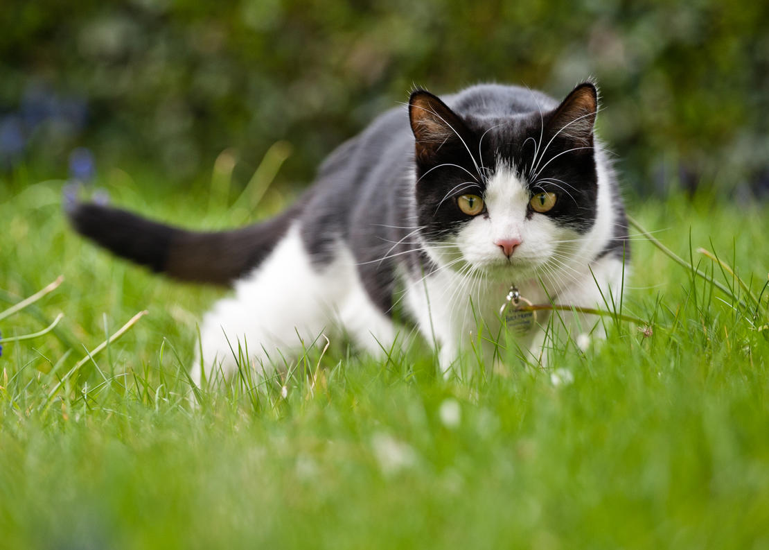 A black and white cat hunting in the yard