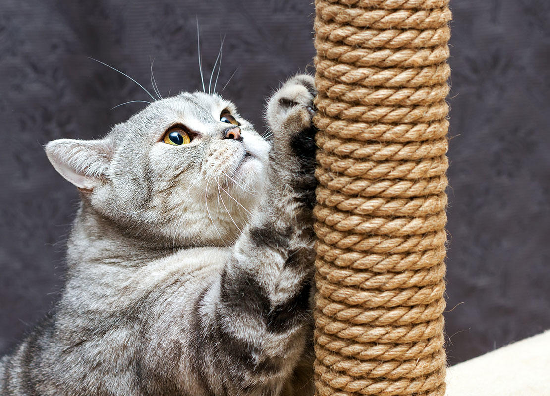 Grey shorthair scottish striped cat scratching a scratching post