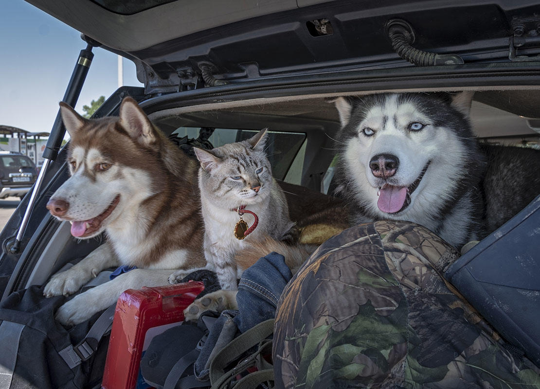 two dogs and a cat in the back of a car