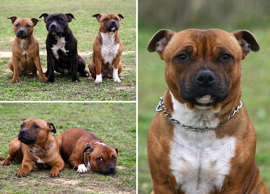 Group of Staffordshire Bull Terriers outside