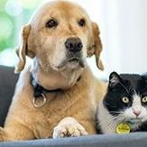 Labrador and cat lying on couch