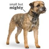An image of the Border Terrier breed