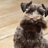 miniature schnauzer looks at camera