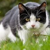 A black and white cat hunting in the yar