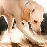 A dog digging in the dirt