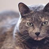 An older gray cat sitting and staring into the camera