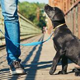 A black Labrador puppy heeling and looking up at his owner while on a walk