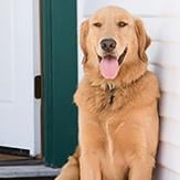 A golden retriever panting on the porch during a hot summer day