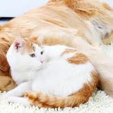 Golden retriever and white and orange cat cuddling together on rug