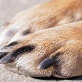 close up of a dogs nails on paw