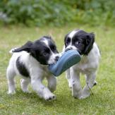 two puppies run with a shoe