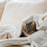 European cat is relaxing in a soft white blanket on a sofa
