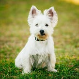 Small West Highland White Terrier on green grass