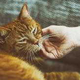 Orange cat on sofa with a woman's hand gently stroking